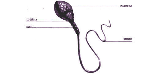 spermatozoid