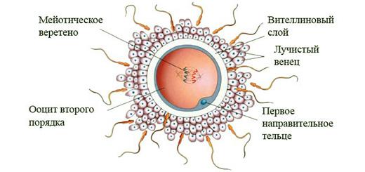 женская-клетка