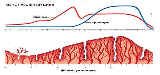 менструальный-цикл
